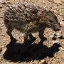 Desert rattleback